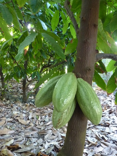 green cacao