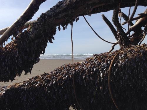 gooseneck barnacles on driftwood