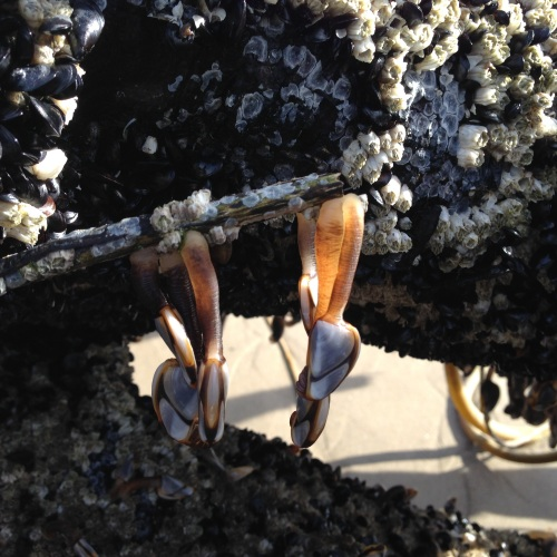 pelagic gooseneck barnacles