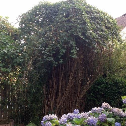passiflora overtakes bamboo