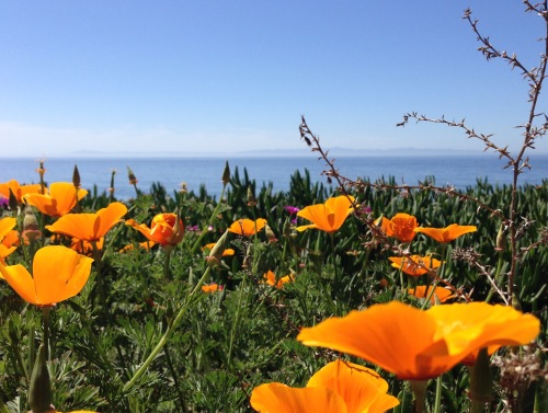 poppies and Channel Islands