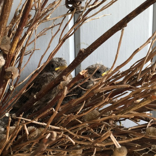 baby finches 2 weeks old