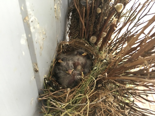 4 day old finches