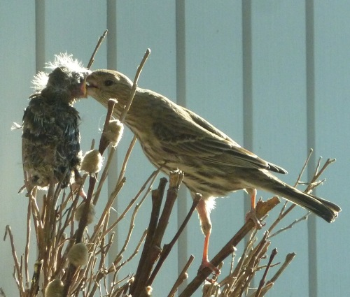 finch baby and mom
