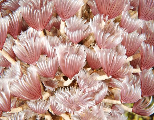 Feather Duster tube worms, photo courtesy of Murray Post